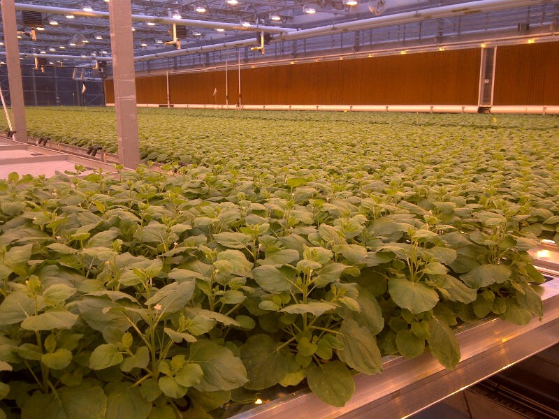 tobacco plants in greenhouse