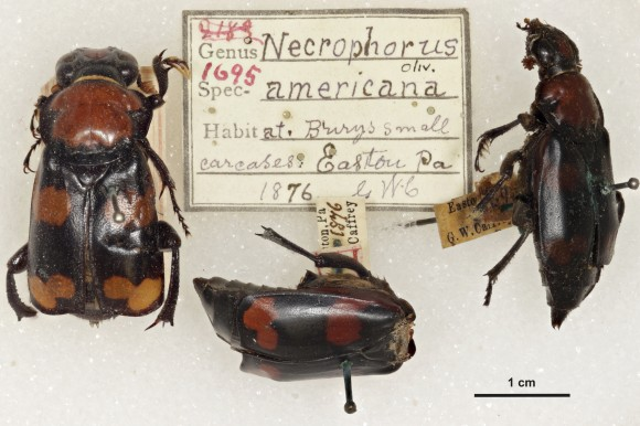 The Nicrophorus -- notice the misspelling on the original tag. And the missing head.