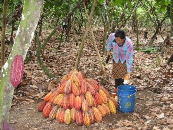 Cocoa pods being gathered in Ecuador. Courtesy of World Cocoa Foundation.