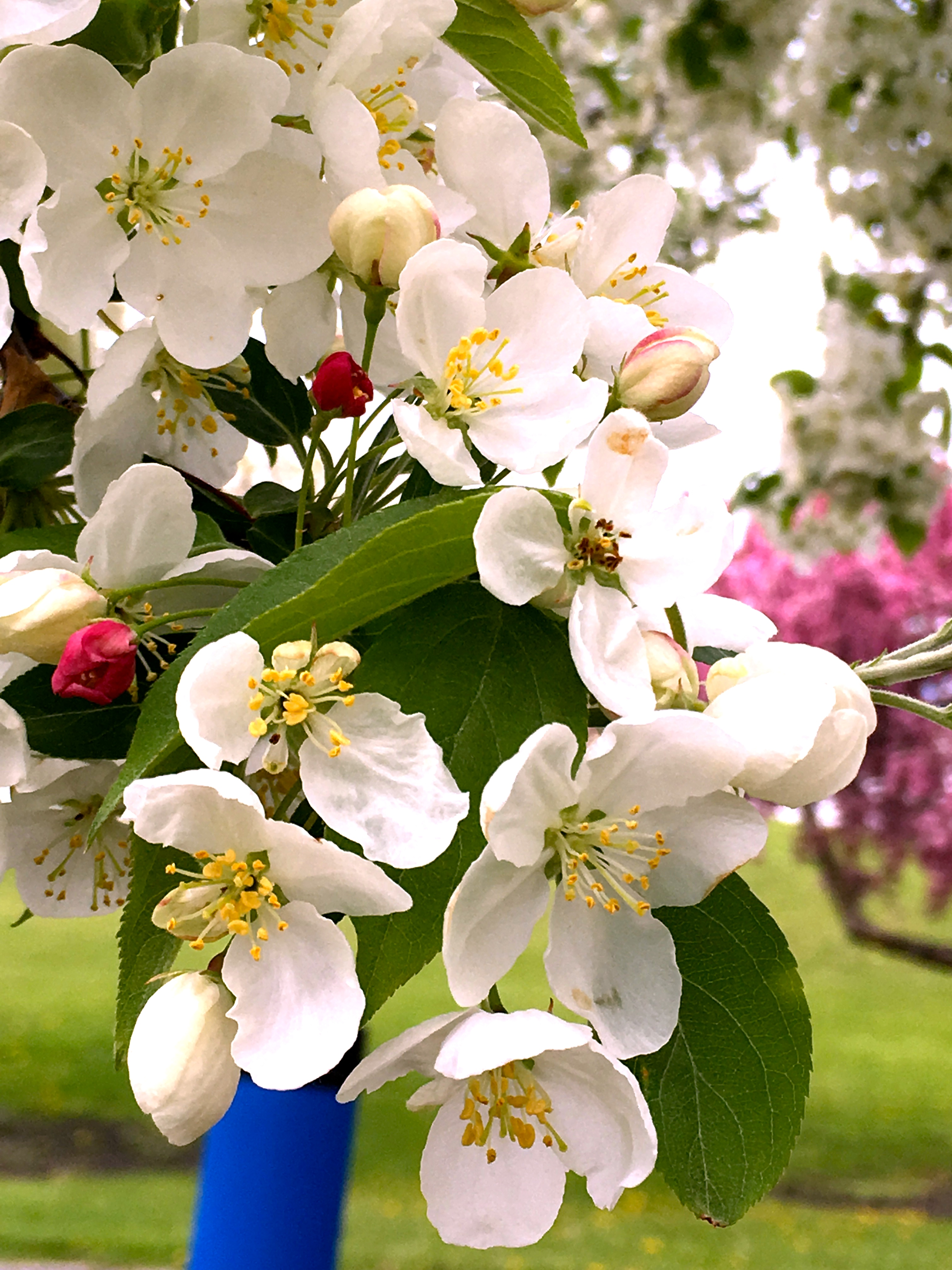 An apple tree in bloom at the Penn State Fruit Research and Extension Center