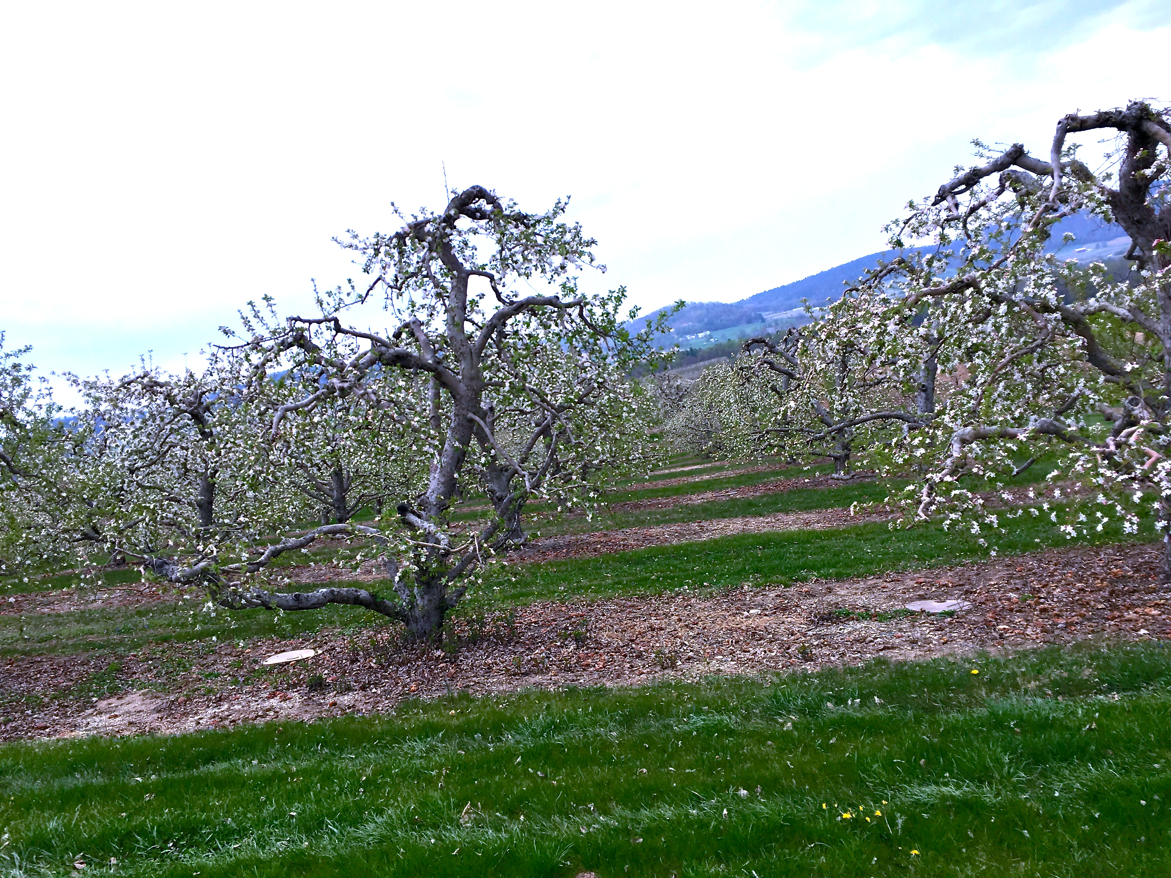 Blooming apple trees in the Penn State research orchards in Biglerville, PA